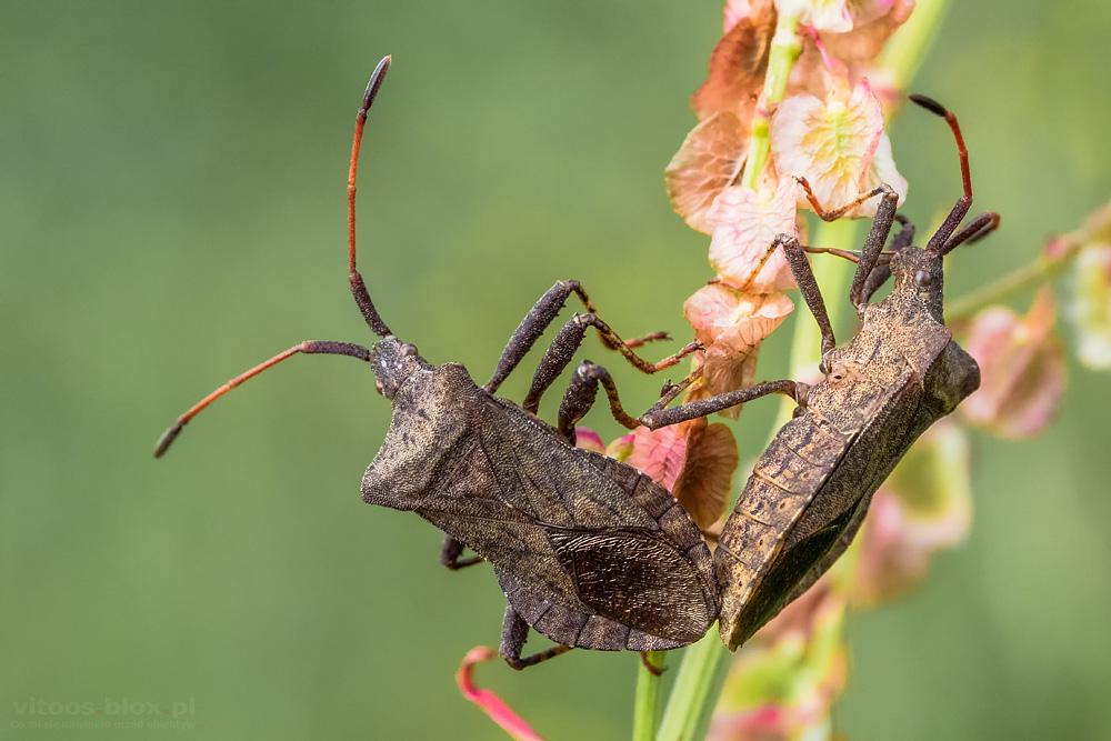 Fot. Witold Ochał, pary owadów
