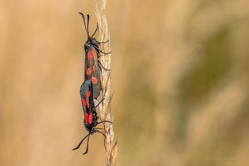 Fot. Witold Ochał, para owadów