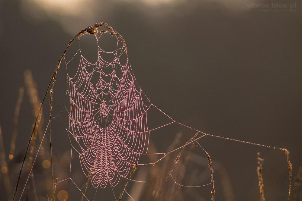 Fot. Witold Ochał, pajęczyny o poranku