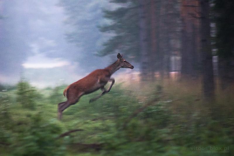 Fot. Witold Ochał, jeleń, łanai