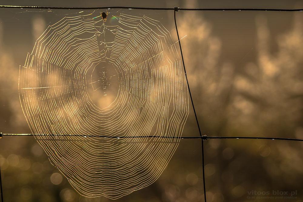 Fot. Witold Ochał, pajęczyna