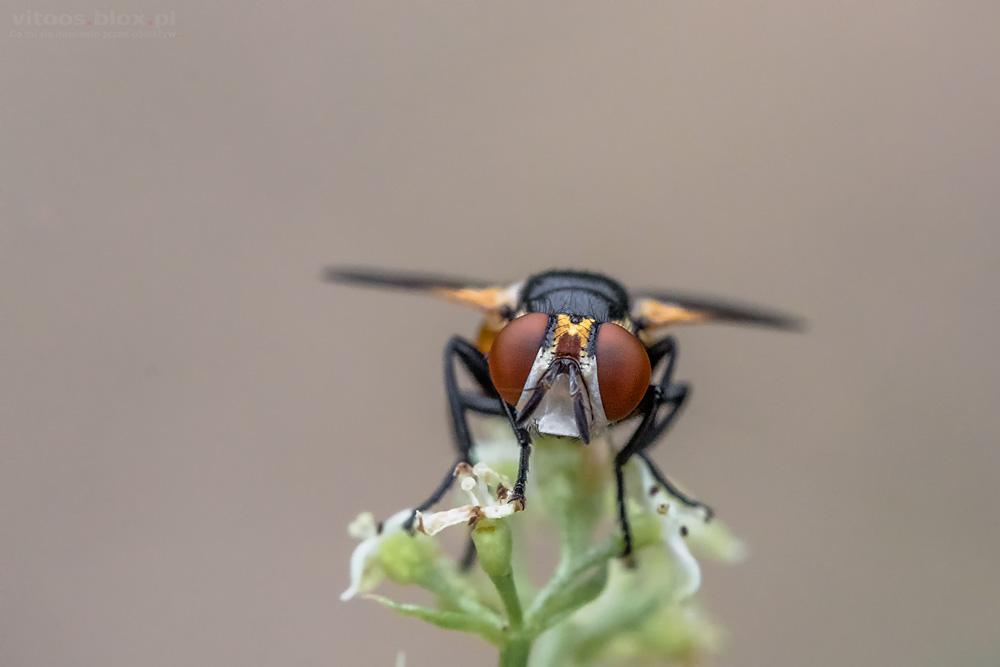 Fot. Witold Ochał, mucha, makrofotografia