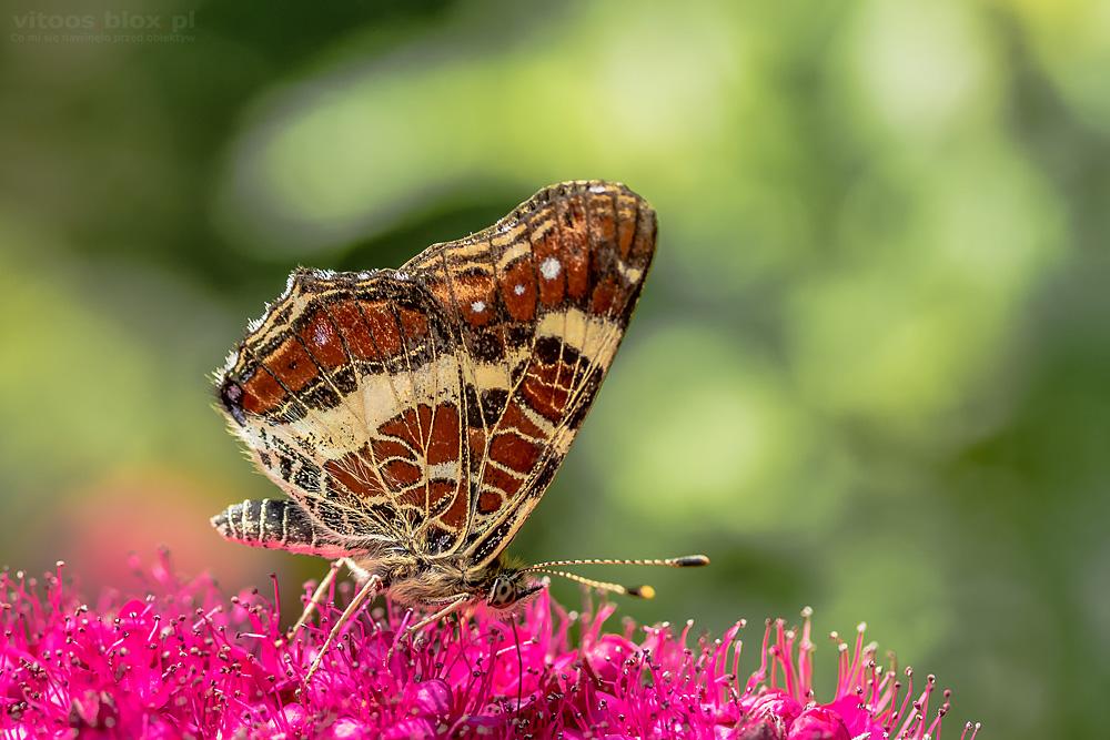 Fot. Witold Ochał, makrofotografia, motyle
